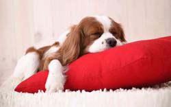 Cavalier-King-Charles-Sleeping
