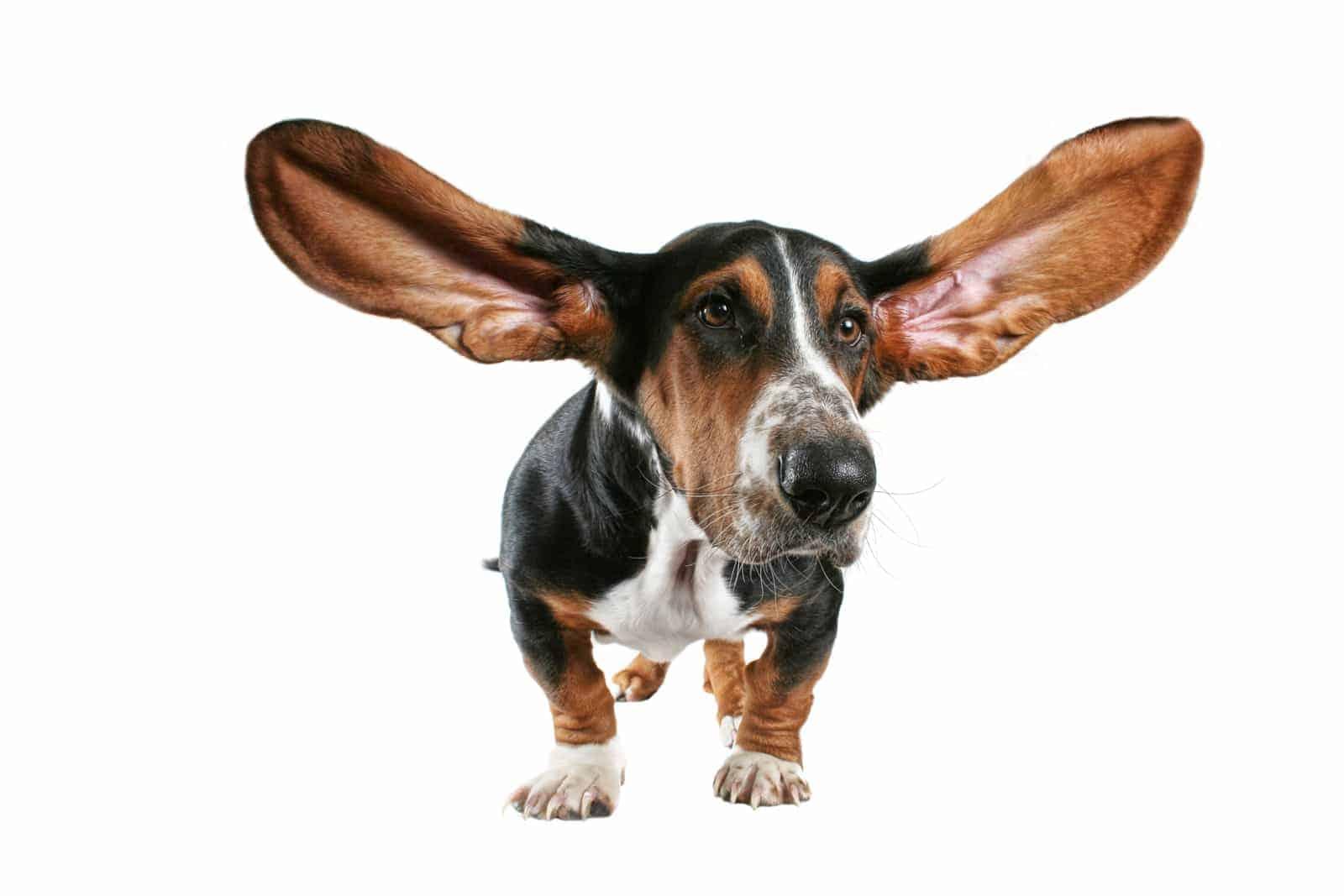 Dog-ears-2