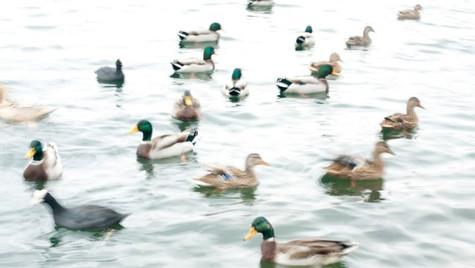 Magical Ducks