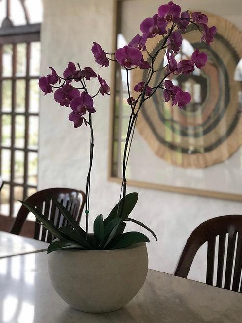 Orquídeas con matera en cemento Bowl