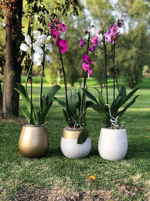 Orquídeas con matera Gota en cemento
