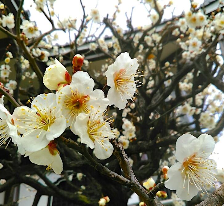 Fleurs de prunier Tokyo boutique japonaise