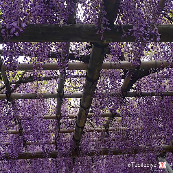 Glycines en fleur à Kameido tenjin à Tokyo, mai 2019, Tabitabiya boutique japonaise en ligne