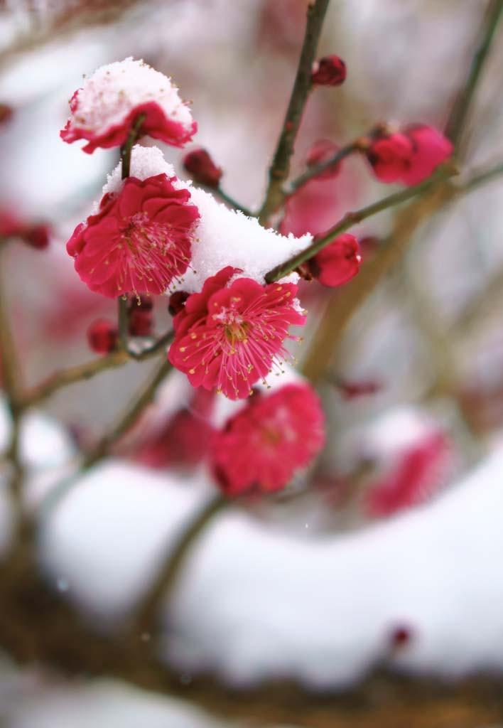 Fleurs de prunier sous la neige au Japon Plum blossom under the snow in Japan