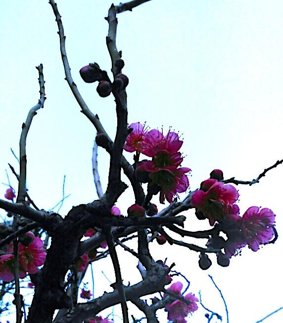 prunier en fleurs Tokyo Tabitabiya boutique japonaise