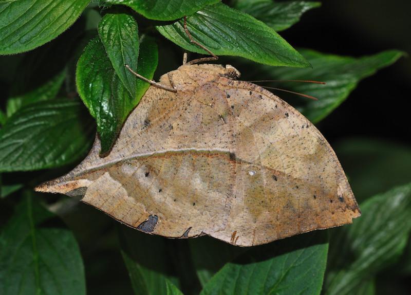 Konohachō コノハチョウ 木の葉蝶, Kallima inachus