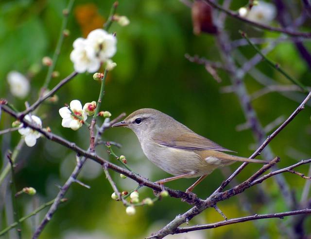 Uguisu 鶯  Bouscarle chanteuse dans des fleurs de prunier au Japon