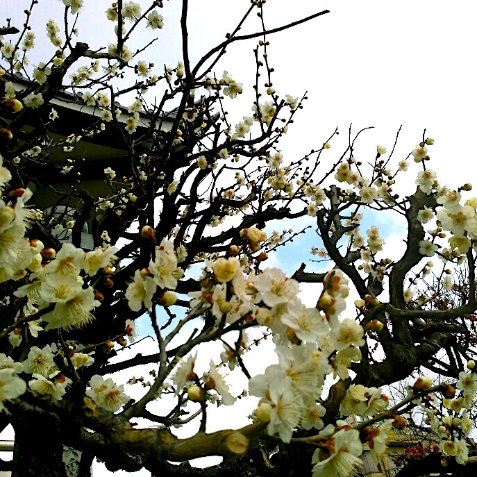 Fleur de prunier blanc Tokyo Tabitabiya boutique japonaise