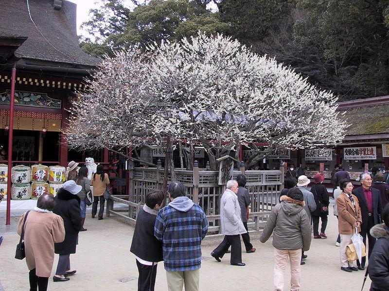 Tobi-Ume 飛梅 sanctuaire Dazaifu Tenman-Gu à Kyushu