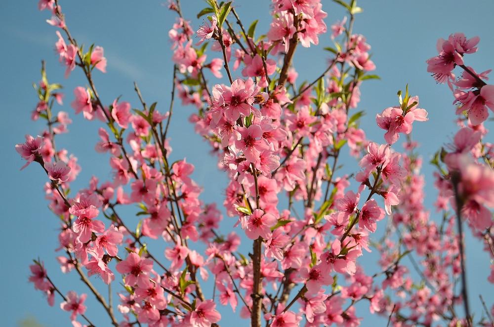 Fleur de pêcher au Japon Momo-no-Hana 桃の花