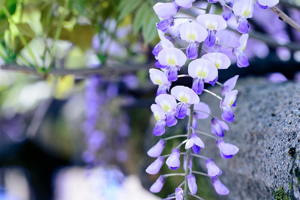 Fuji, glycine en fleur au Japon