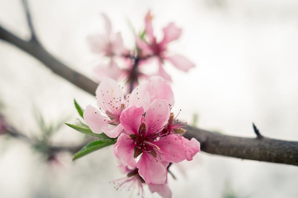 Fleur de pêcher Momo-no-Hana 桃の花
