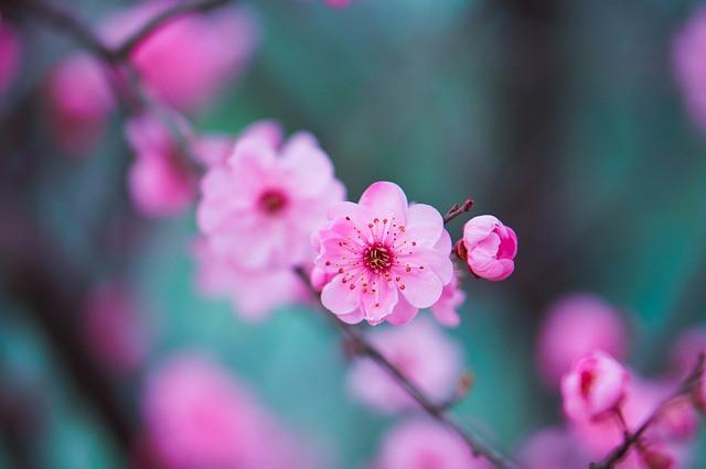 fleurs de pêcher en fleur