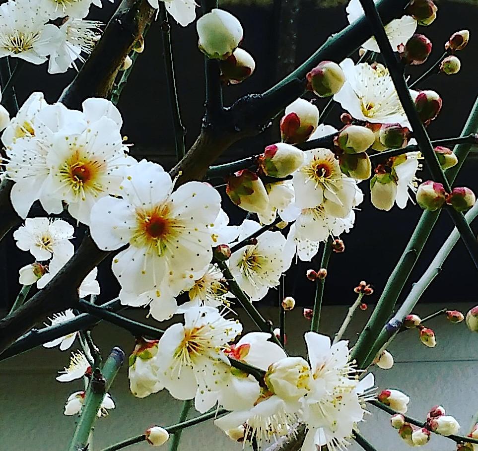 Fleurs de prunier Tokyo Tabitabiya boutique japonaise