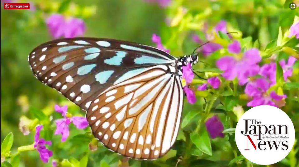 vidéo Youtube sur la verrière aux papillons du Musée des Insectes de la ville d'Itami au Japon