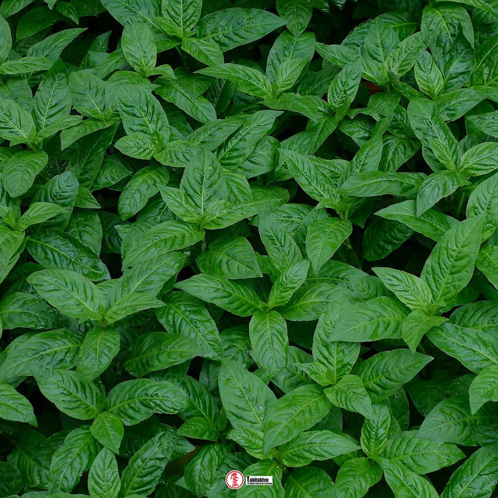 plante d'Indigo