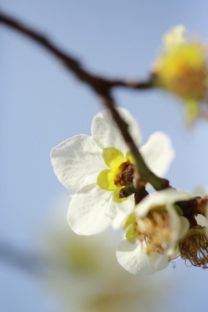 Ura-Ume fleurs de prunier photographiés de dos