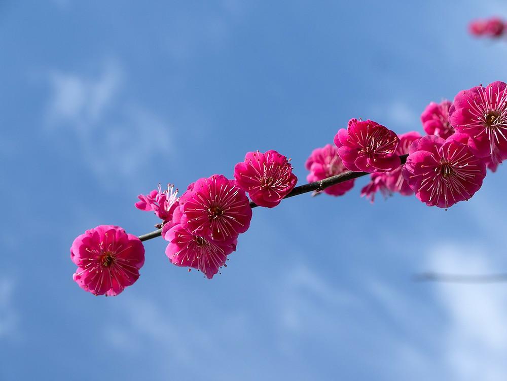 Fleurs de prunier au Japon Plum blossom in Japan