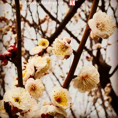 Ume Fleurs de pruniers Tokyo Tabitabiya boutique japonaise en ligne