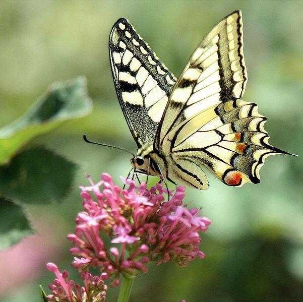un papillon machaon Ageha-Cho 揚羽