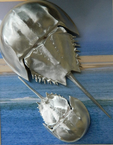 Large and Med Horseshoe Crab