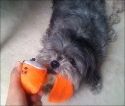 Ollie Loves to Play With His Toys!