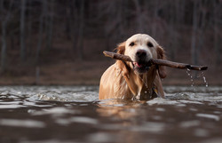 Fetching Sticks in the River is Fun!