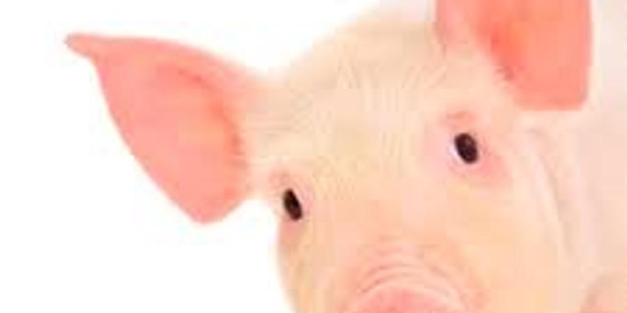 Bienestar Animal en Cerdo