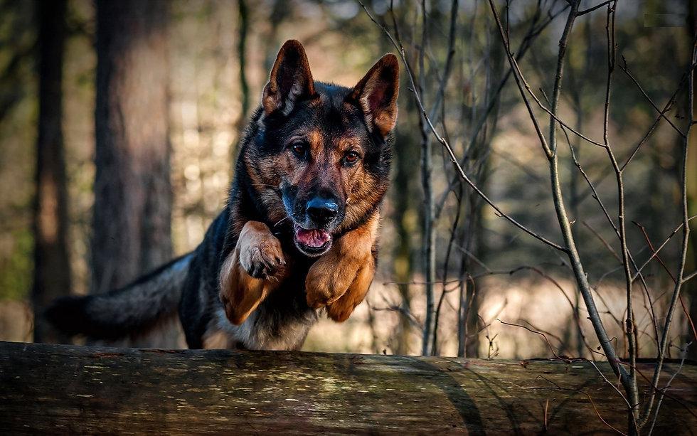 jumping-german-shepher-dog-widescreen-wa