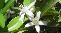 Argan Flower