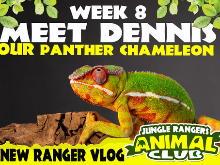 Meet Dennis our panther Chameleon