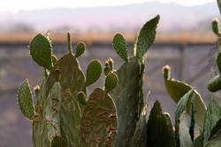 Engraved - Graffiti Cactus