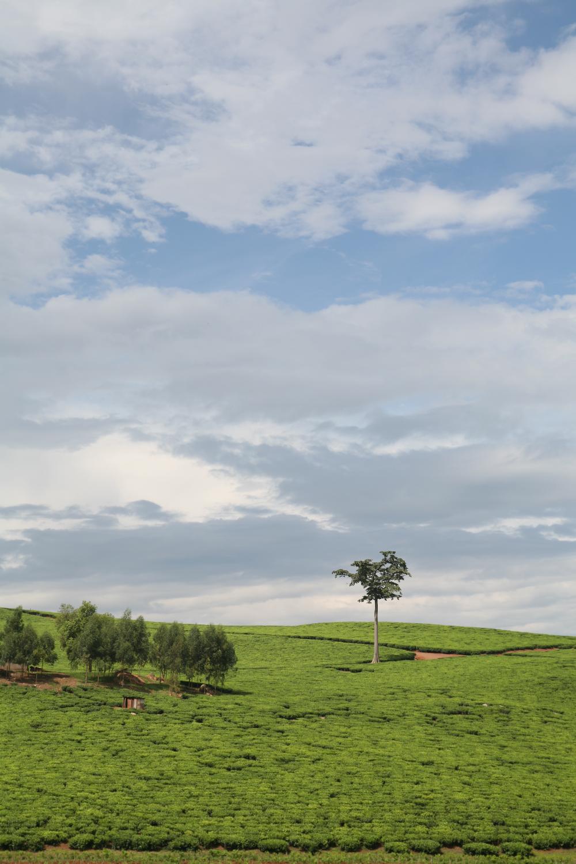 Tea Landscape 0763