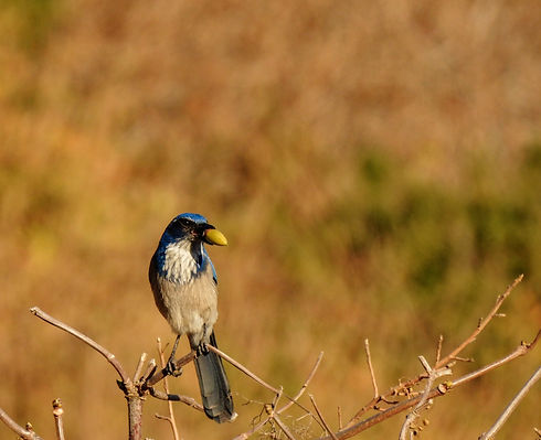 A%20california%20scrub-jay%20with%20an%20acorn%20in%20its%20beak._edited.jpg