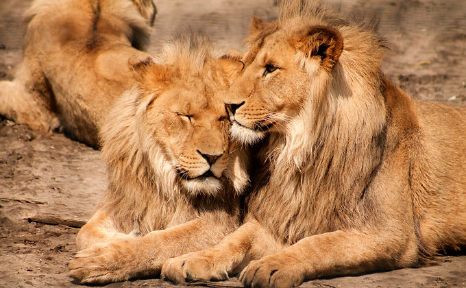 Male Lions_edited.jpg