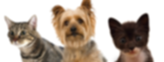 Two Cats and a Yorkshire Terrier Dog Wait Patiently for Their Pet Sitter