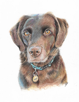 colourpencil-labrador-portrait.jpg