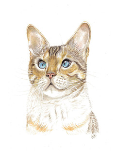 coloured-pencil-portrait-of.birman.cat.j