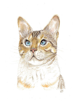 coloured-pencil-portrait-of.birman.cat.j