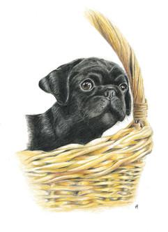 coloured-pencil-portrait-of-pug.jpg