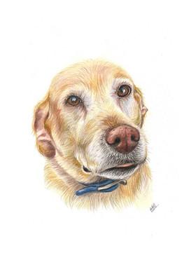 custom-pet-portrait-of-golden-labrador-d
