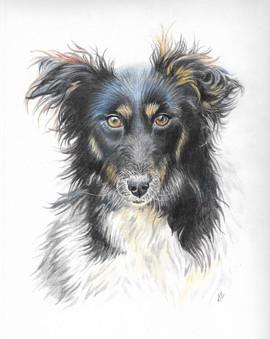 custom-pet-portrait-collie.jpg