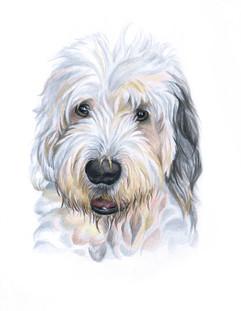 english-sheepdog-pet-portrait.jpg