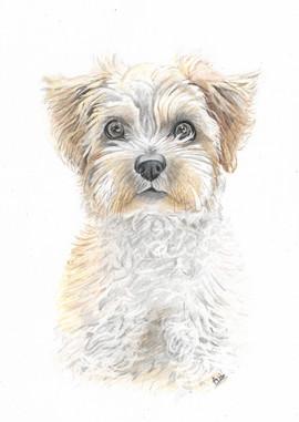colour-pencil-yorkshire-terrier-pet-port