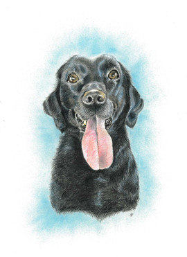 colored-pencil-portrait-of-black-labrado