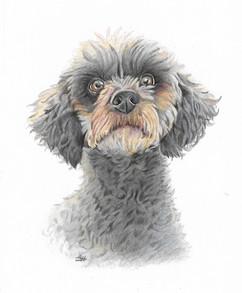colour-pencil-terrier-dog-portrait.jpg