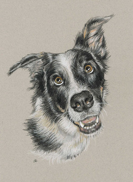 pet-portrait-of-sheepdog-collie-dog.jpg