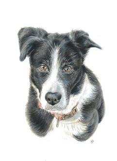 portrait-of-staffy-dog.jpg