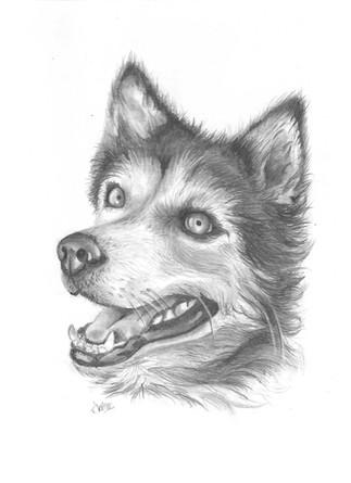 custom-husky-pet-portrait-pencil.jpg