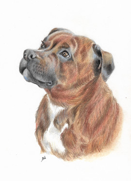 colour-pencil-portrait-staffy-dog.jpg